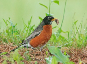 American Robin Photo: Tom Grey