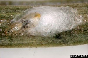 Pine needle scale insect, showing waxy coating.