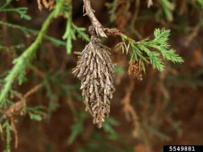 Common bagworm, Eric Rebek, Oklahoma State University, via Bugwood.org