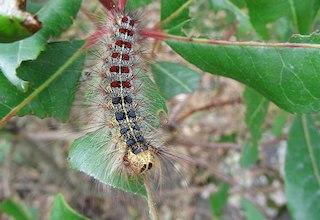 Gypsy moth catepillar, Image credit: Charles C. (Wikipedia)