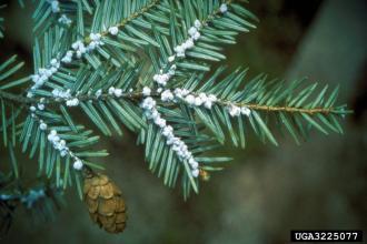 Hemlock woolly adelgid nymphs