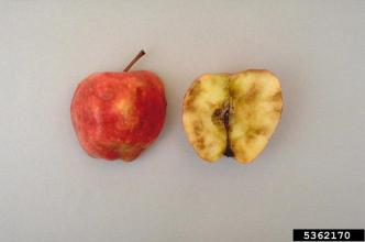 Apple damaged by an apple maggot