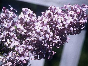 lilac full flowering