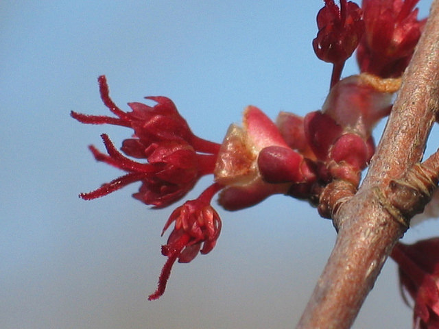 Red maple open flowers, Photo: Ellen G Denny