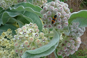 Asclepias_eriocarpa, Photo: 2011 Robert A. Hamilton.