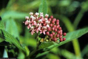 Asclepias_incarnata, Photo: R.A. Howard, USDA-NRCS PLANTS Database