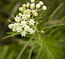Asclepias_verticillata, Photo: Frank Mayfield via EOL. License
