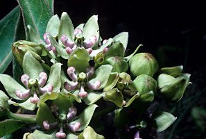 Asclepias_viridis, Photo: T.F. Niehaus. Courtesy of Smithsonian Institution, Dept. of Systematic Biology, Botany