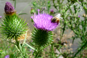 Cirsium_vulgare_Bidgee via Wikimedia Commons