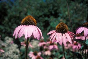 Echinacea_purpurea, Photo: John J. Mosesso, National Biological Information Infrastructure Digital Image Library