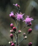 Liatris aspera, Photo: Larry Allain, National Wetlands Research Center, USGS, USDA-NRCS PLANTS Database
