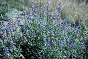 Lupinus_sparsiflorus, Photo: John Riley via Wikimedia Commons