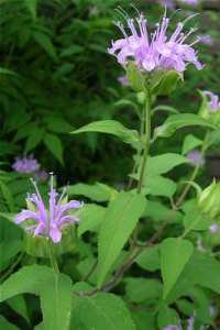 Monarda_fistulosa, Photo: Merel R. Black @ University of Wisconsin- Stevens Point
