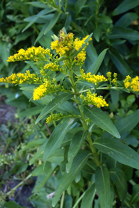 Solidago_sempervirens, Photo: Siveira via Wikimedia Commons