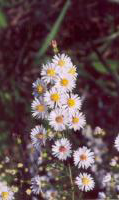 Symphyotrichum_ericoides, Photo: Jennifer Anderson. United States, IA, Scott Co., Davenport, Nahant Marsh. 2001, @ USDA-NRCS PLANTS Database