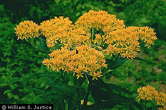 Asclepias tuberosa, Photo: William S Justice