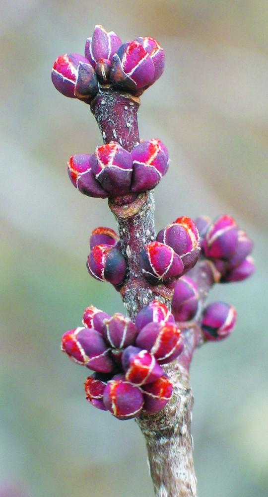 Buds with bud scales. Red maple swelling floral buds. Photo credit: Ellen G. Denny