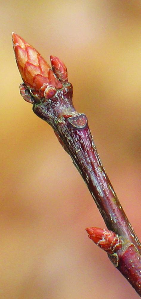 Buds with bud scales. Northern red oak dormant buds. Photo credit: Ellen G. Denny