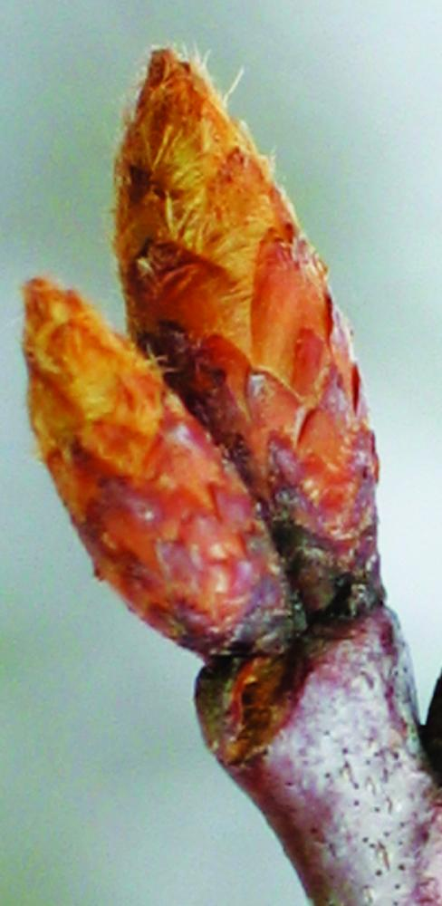 Buds with bud scales. Northern red oak swelling buds. Photo credit: Ellen G. Denny