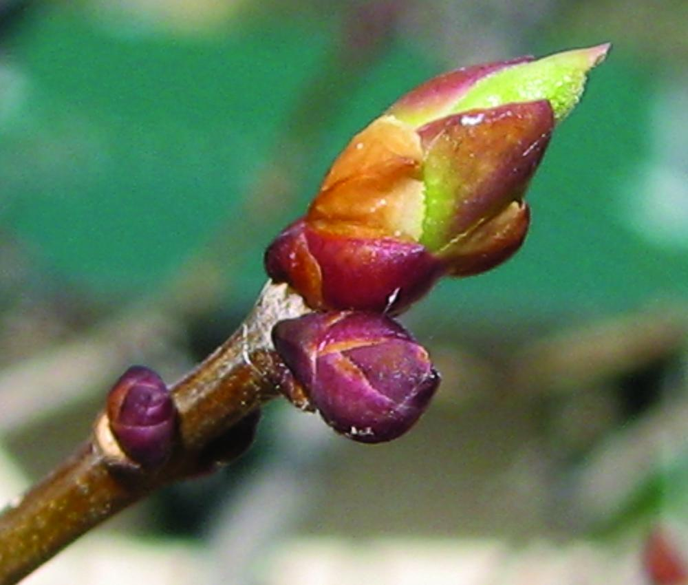 "Lilac leaf bud swelling and ""breaking"". Photo credit: Patty Guertin"