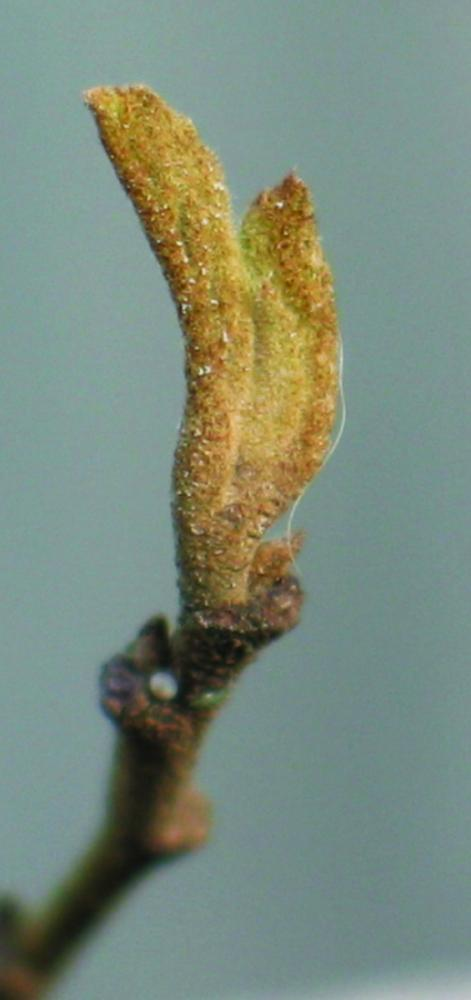 Buds with no bud scales - naked buds. Witchhazel swelling leaf bud. Photo credit: Ellen G. Denny