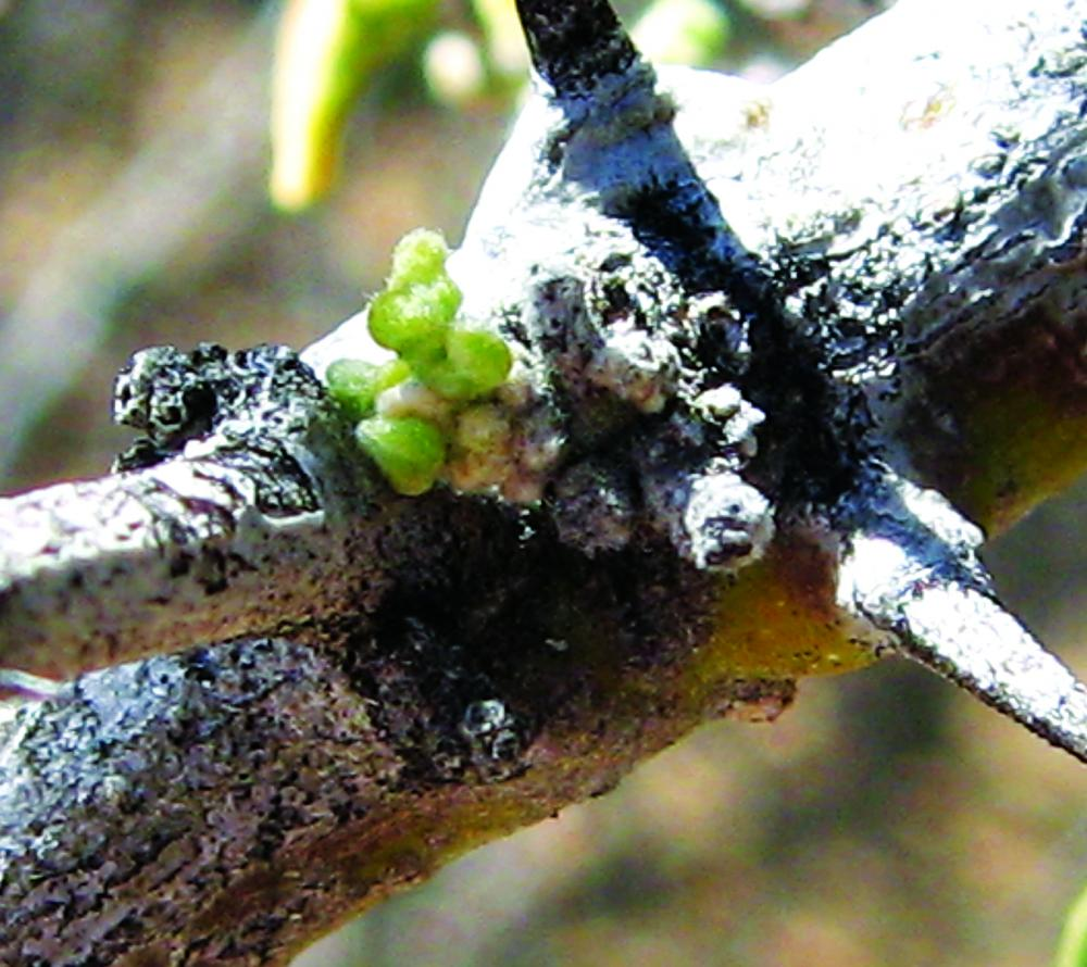 Drought deciduous plants. Desert ironwood swelling bud activity. Photo credit: Patty Guertin