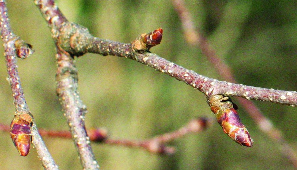 River birch dormant mixed (female flowers and leaves) and leaf buds. Photo credit: Ellen G. Denny