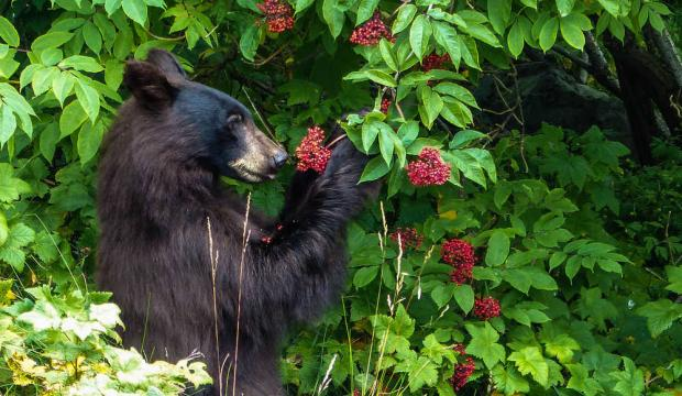 Black bear with elderberry, Photo: Juneau Empire