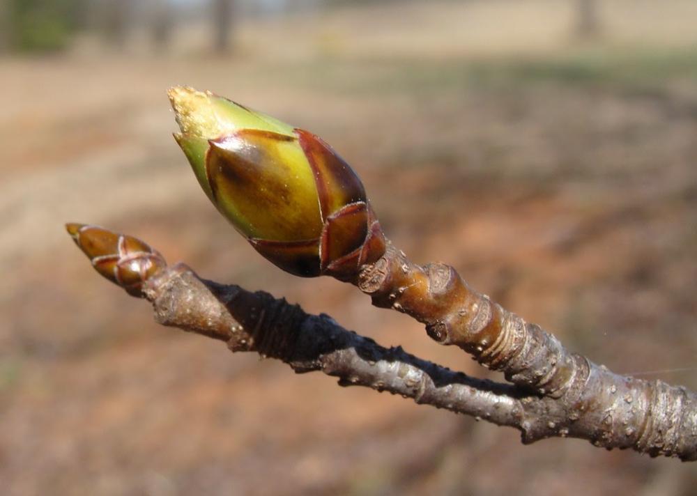 Leaf bud, Photo: Martin LaBar