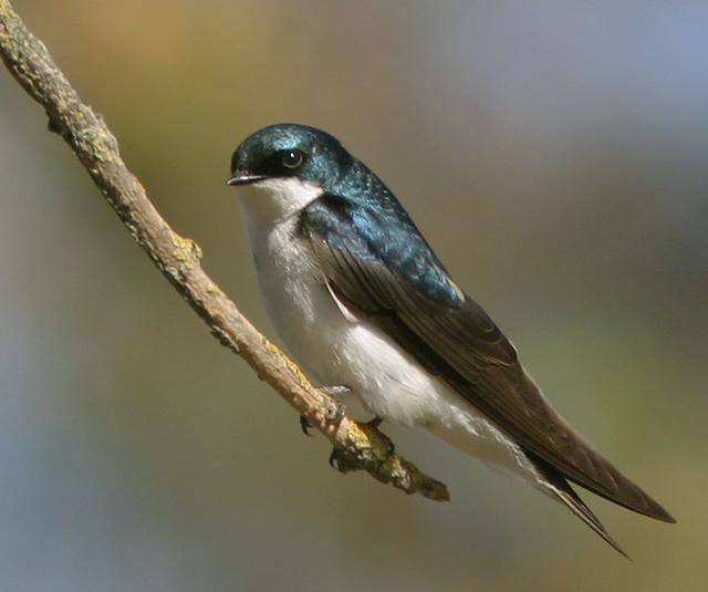 Tree Swallow, Photo: Tom Grey