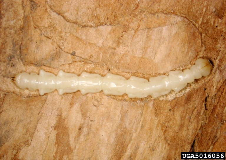 EAB larvae, Photo:Pennsylvania Department of Conservation and Natural Resources - Forestry, Bugwood.org