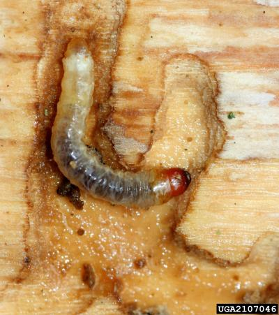 Larval Lilac Borer, Photo: David Cappaert, Michigan State University