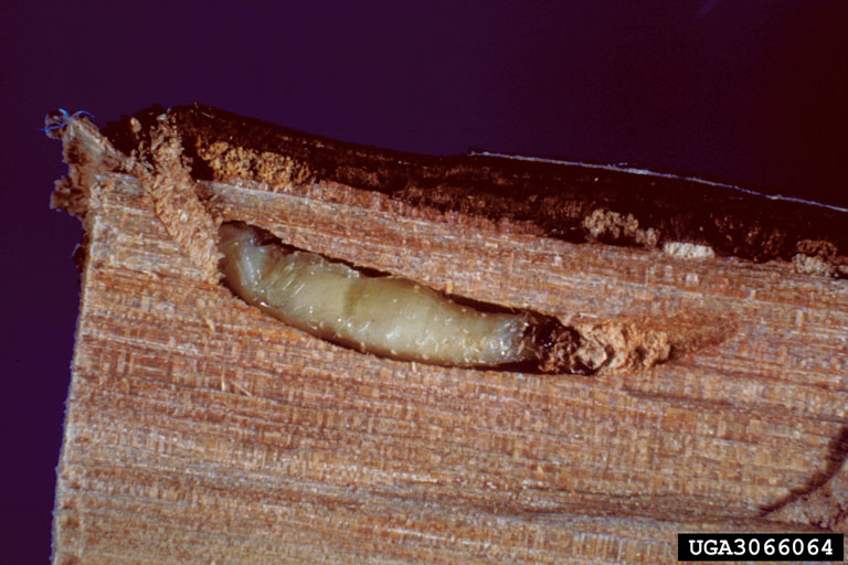 Bronze birch borer. Photo: David G. Nielsen, The Ohio State University, Bugwood.org