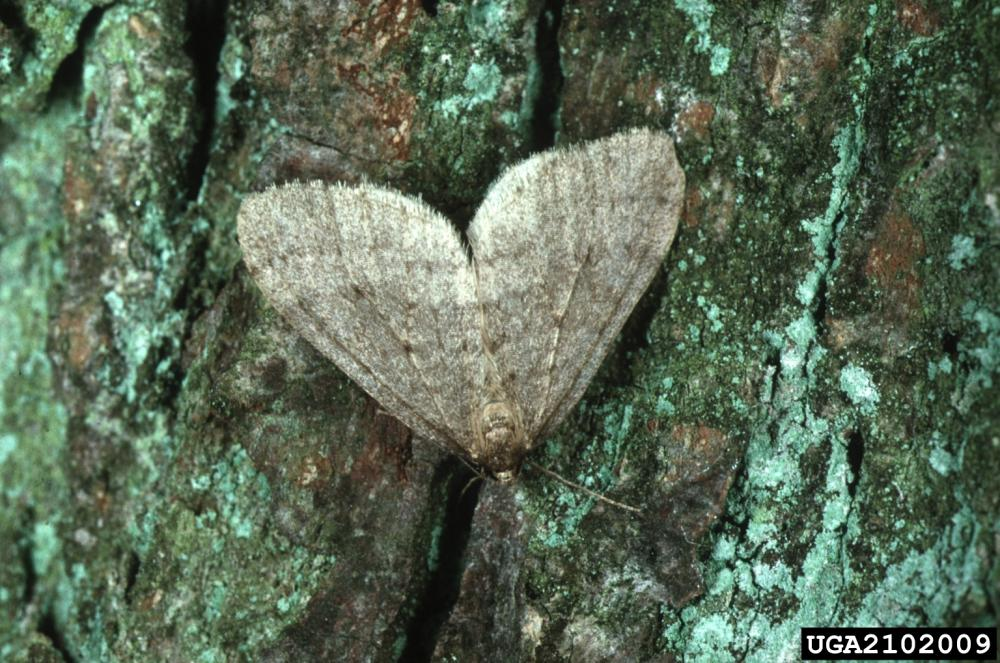 Winter moth, Photo: Louis-Michel Nageleisen, Département de la Santédes Forêts, Bugwood.org