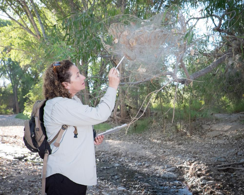 Woman inspects tent caterpillar nest, Cienega Creek, AZ Photo: Brian F Powell
