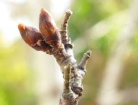 Betula pendula leaf buds, Photo: JonRichfield, Wikimedia Commons