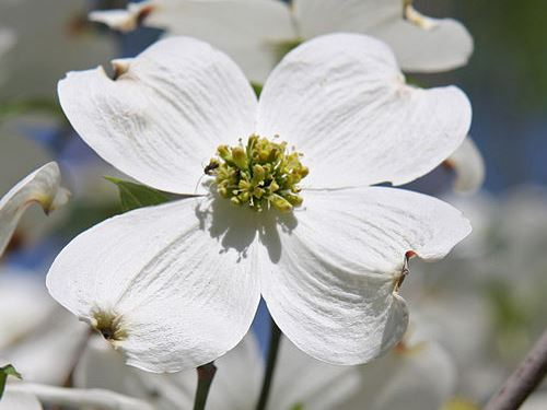 Flowering dogwoods usa national phenology network open flowers photo dcrjsr wikimedia commons mightylinksfo