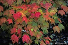red maple colored leaves, Robert L. Anderson, USDA Forest Service, Bugwood.org