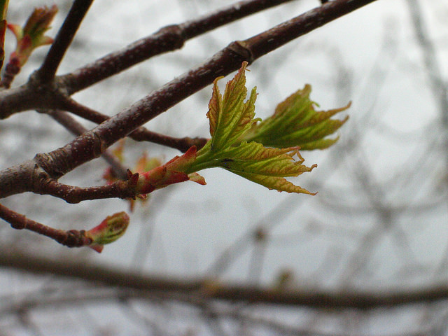 Acer rubrum increasing leaf size Photo: Ellen G Denny