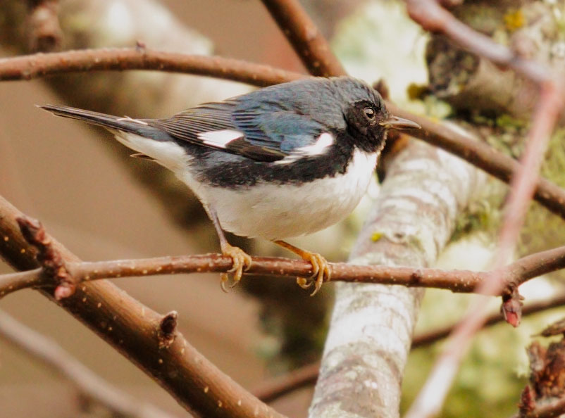 Photo: Tom Grey, black-throated blue warbler