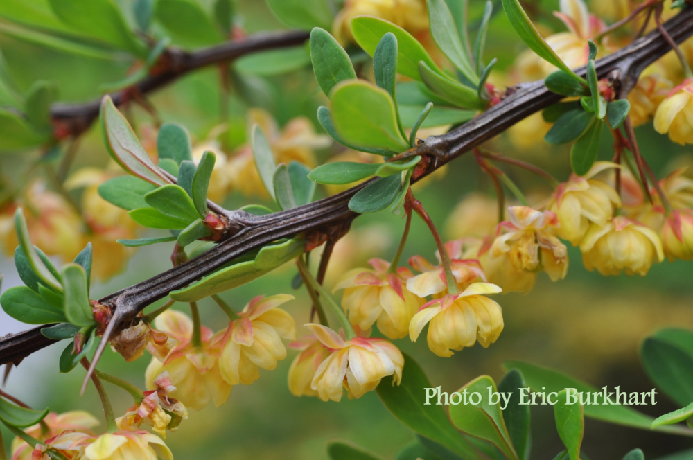 Japanese barberry_Berberis thunbergii_leaves