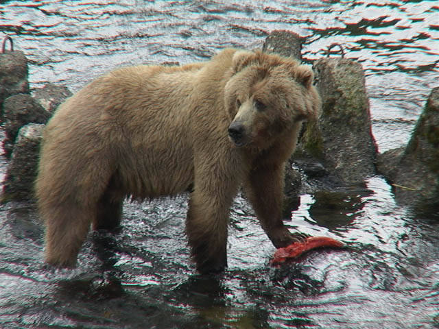 Kodiak brown bear with salmon Photo: Greg Wilker, USFWS