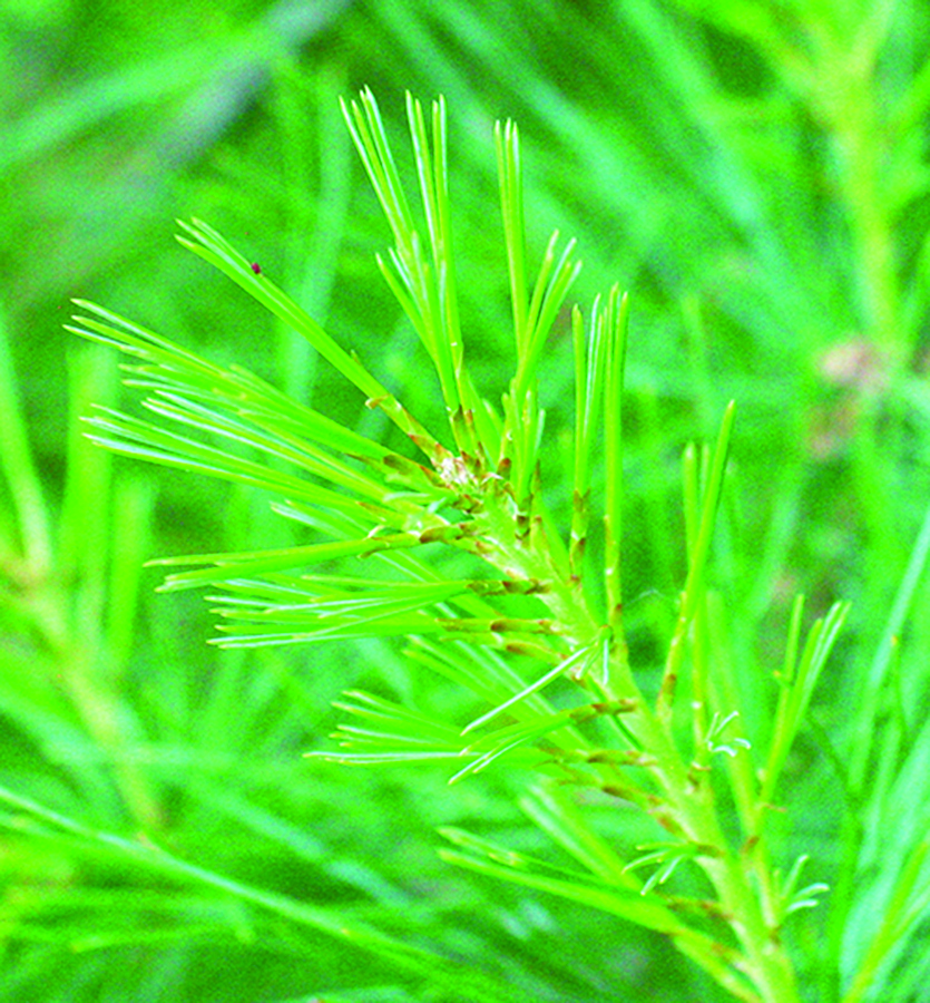 Young needles: Pinus strobus. Photo credit: Ellen G. Denny