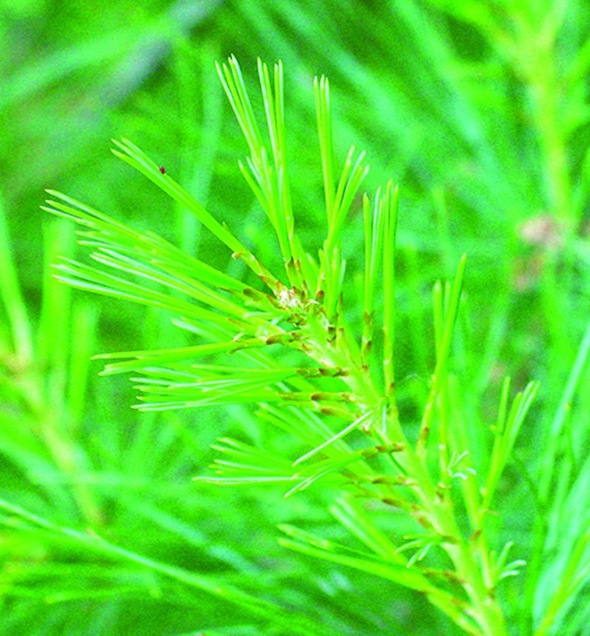 Young needles: Pinus strobus. Photo credit: Ellen G. Denny