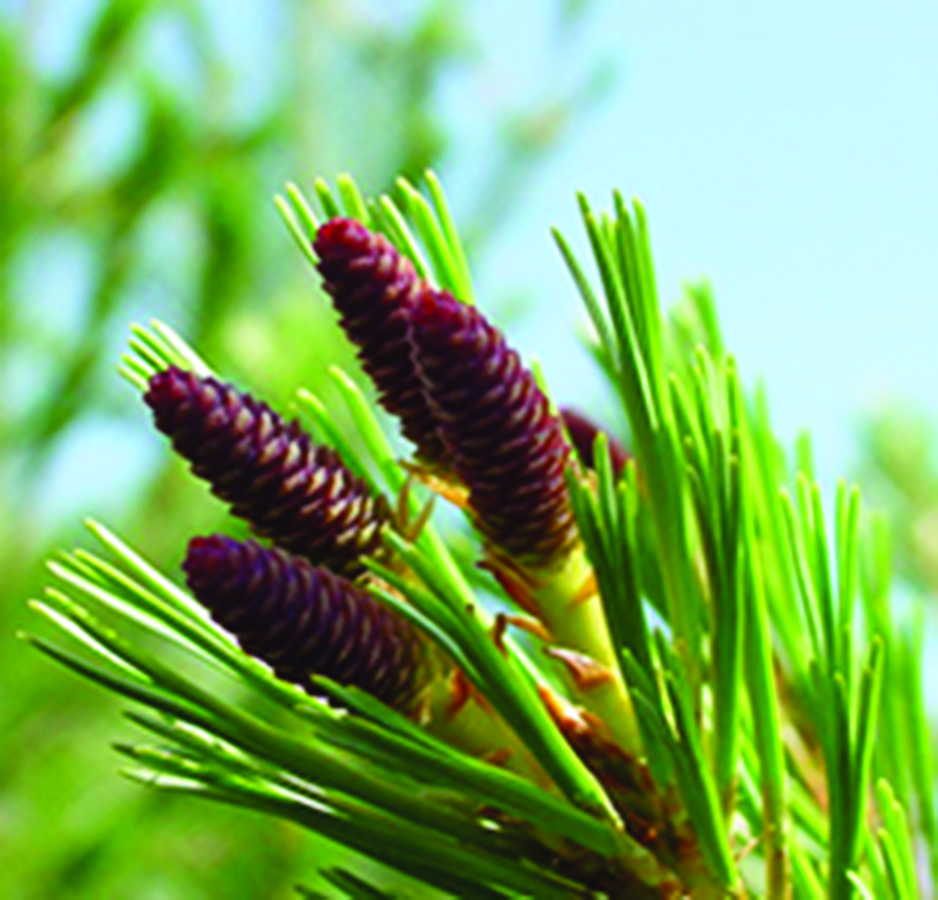 Open unripe seed cones receiving pollen: Pinus monticola. Photo credit: Richard Sniezko, US Forest Service Dorena Genetic Resource Center via Wikimedia Commons, Public domain