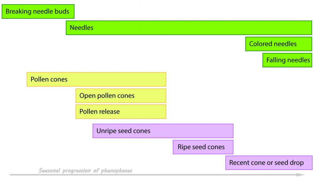 "Annual seasonal timeline of Nature's Notebook ""deciduous"" conifers' phenophases"