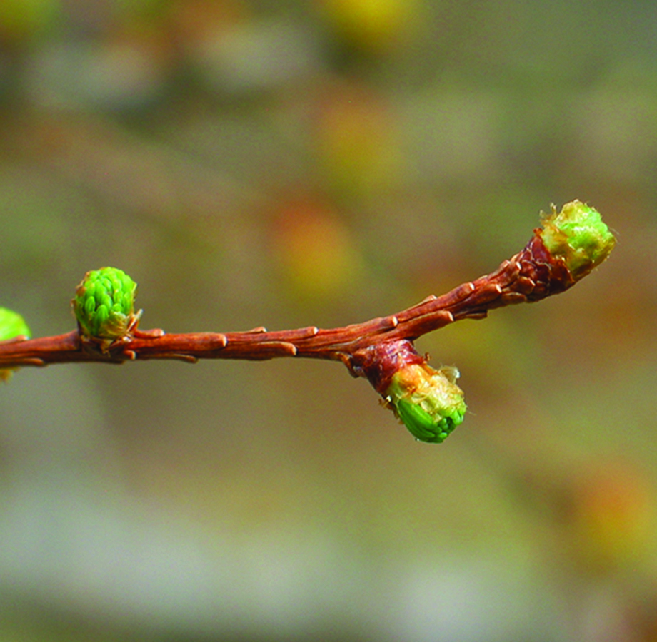 Breaking needle buds: Larix laricina. Photo credit: Ellen G. Denny