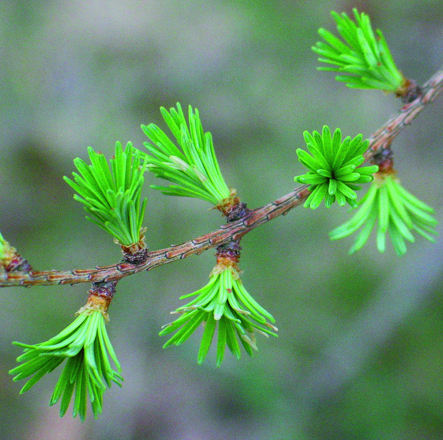 Young needles: Larix laricina. Photo credit: Ellen G. Denny