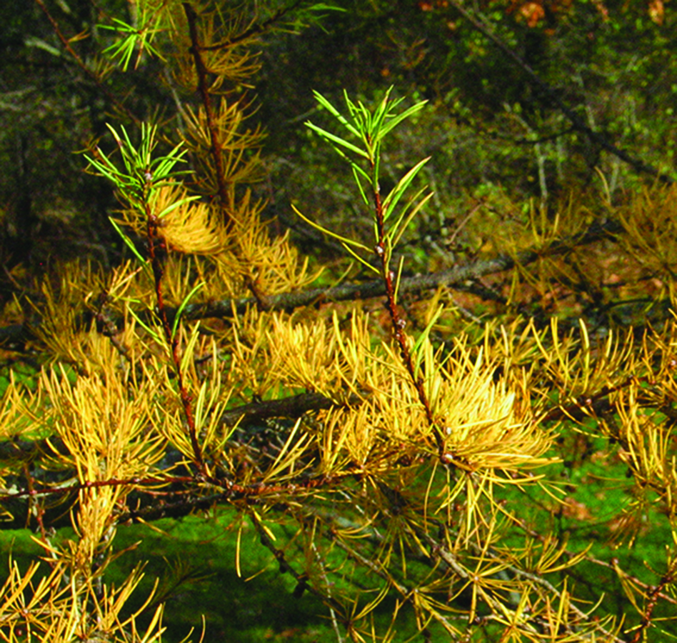 Colored needles: Larix laricina. Photo credit: Ellen G. Denny