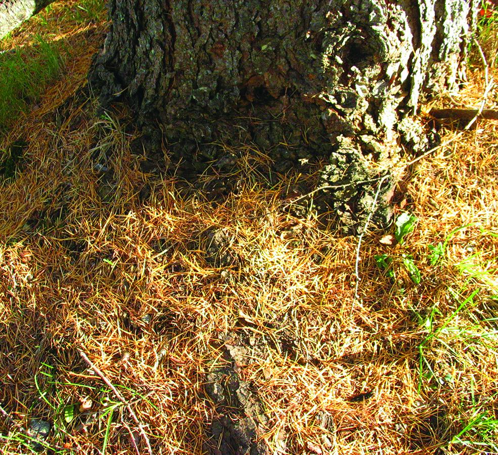Falling needles: Larix laricina. Photo credit: Ellen G. Denny